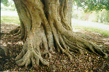 Magnificent, rippling buttressed roots.