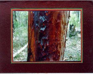 Tree Study - Sydney Red Gum (Angophora costata)