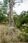 Blackthorn (Bursaria spinosa)